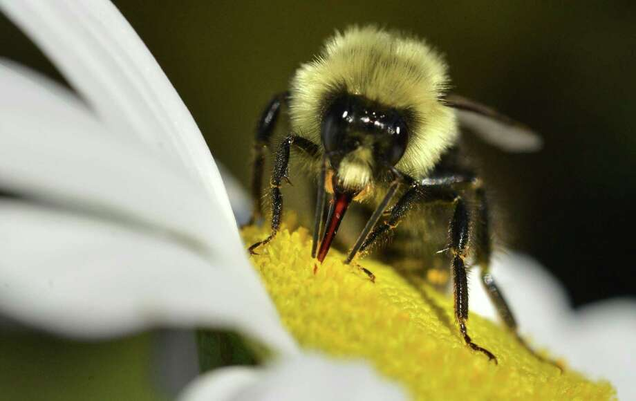 Taking a sip of nectar from a daisy, a bee makes the rounds during a warm fall day on Wednesday October 5, 2016 in Norwalk Conn. Photo: Alex Von Kleydorff / Hearst Connecticut Media / Connecticut Post
