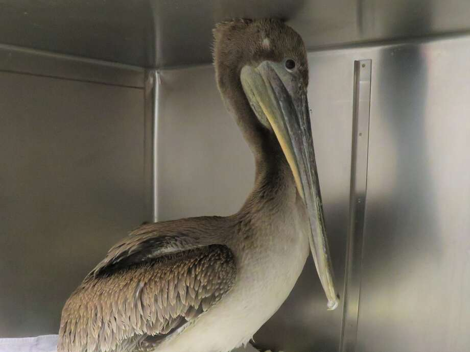 The Peninsula Humane Society and Society for the Prevention of Cruelty to Animals saved a pelican from a Pacific beach Tuesday. Photo: Bay City News