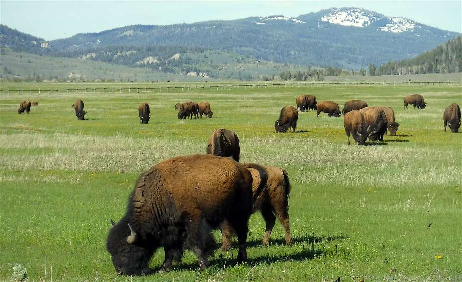 A herd of bison grazes in Buffalo Valley in Grand Teton National Park in Wyoming. The bison is officially the national mammal. Photo: Tom Stienstra, Tom Stienstra / The Chronicle