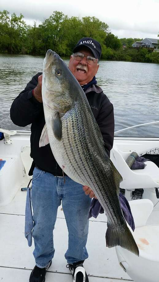 Keep clicking for more big (and sometimes little) catches in our area. Joe Galante of Latham caught this 41-inch striped bass on the Hudson River May 14 2017, near the Congress Street bridge on the Troy side of the river. Photo: Provided Photo