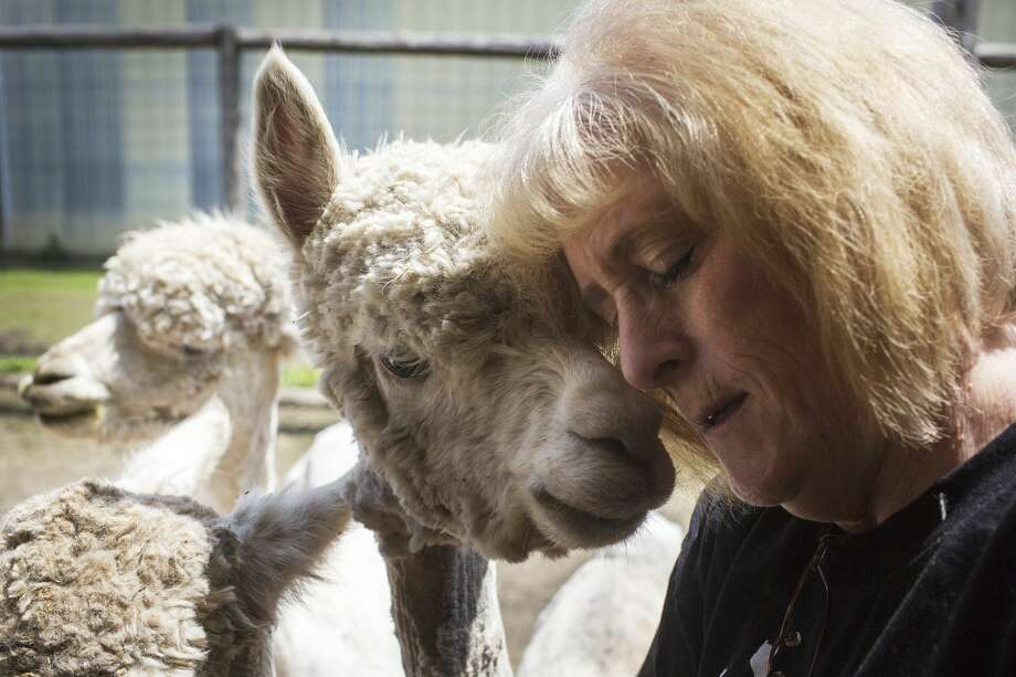 Barb Schick gentle nuzzles an alpaca after being shorn  for the summer at their barn in Auburn on Saturday. Photo: Theophil Syslo