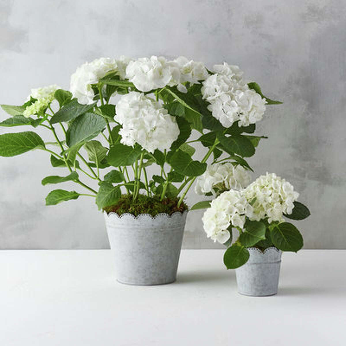 Quintessential Spring Glory Hydrangeas, Scalloped Pot, available in two sizes, small ($48) and large ($98) Take a break from tending your garden. These scalloped pots arrive with a planted blossoming white hydrangea, the perfect gift for those wanting to enjoy blooms from spring well into summer. The Terrain exclusive galvanized steel pot is topped with an elegant scalloped edge, ideal for tabletop décor, separate or as a pair.