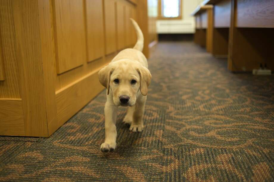 "Midland County Probate Court's new therapy dog, Clyde, a 8-week-old Labrador explores the court room Tuesday morning. Judge Dorene S. Allen adopted Clyde to have him help children and adults when they attend court. ""It's been proven to help relax people and lower their blood pressure,"" Judge Allen said. Photo: Brittney Lohmiller/Midland Daily News/Brittney Lohmiller"