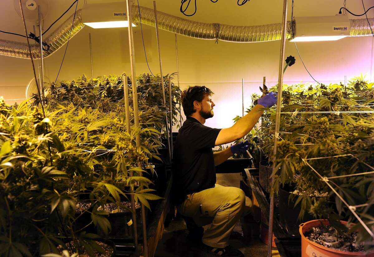 DENVER, CO. - FEBRUARY 04: Nick Hice, cultivation facility manager at Denver Relief harvests several of the plants getting them ready for the drying process. Kayvan Khalatbari owns Denver Relief, a marijuana growing, dispensary, and consulting business.Khalatbari and his employees are meticulous in their marijuana cultivation from start to finish and says the process takes constant care and vigilance by anyone considering growing the plant. (Photo By Kathryn Scott Osler/The Denver Post via Getty Images)