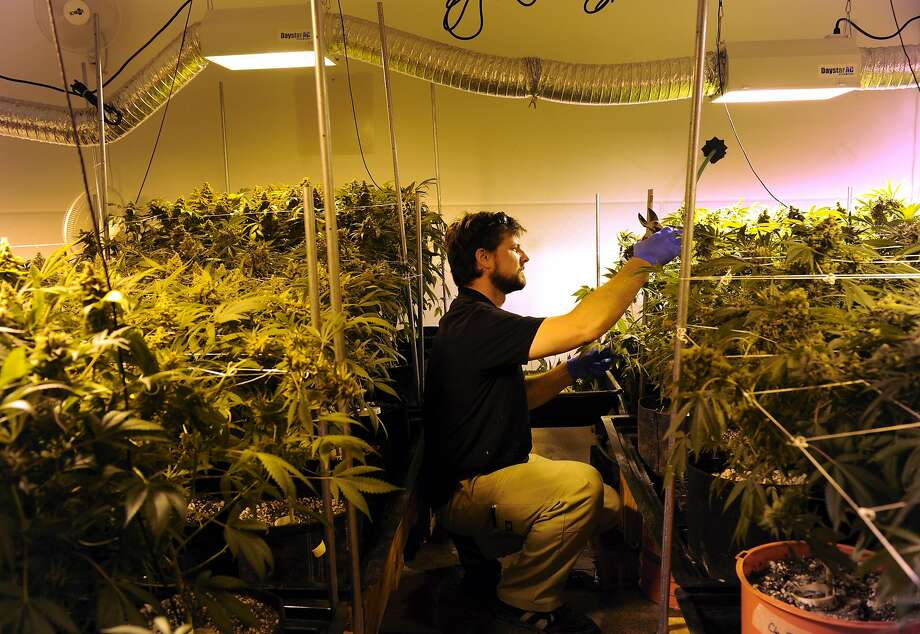 Nick Hice harvests several plants at Denver Relief, some of whose owners are in the group that acquired a controlling interest in High Times. Photo: Kathryn Scott Osler, Denver Post Via Getty Images