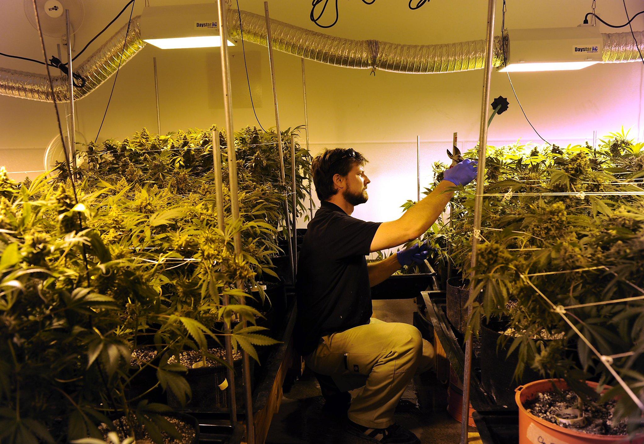 Из чего вырашивают коноплю повлияет ли марихуана на анализы мочи