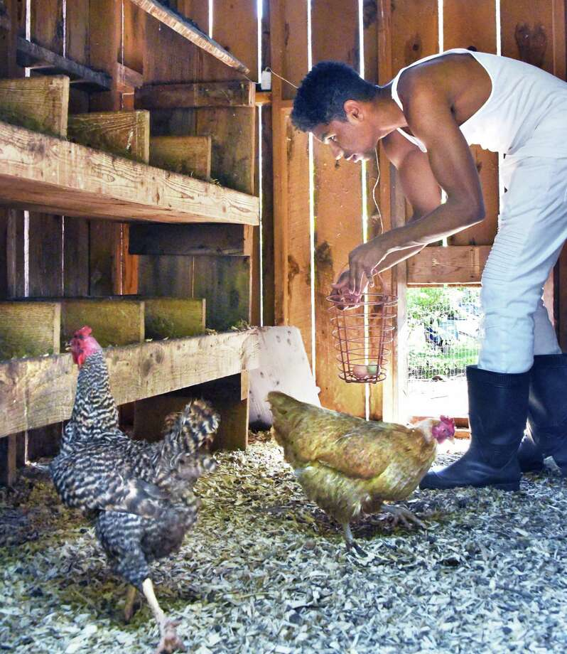 Albany High student Javon Morgan collects eggs in the hen house at Radix Eco. Sustainability Center Wednesday May 17, 2017 in Albany, NY.  (John Carl D'Annibale / Times Union) Photo: John Carl D'Annibale / 20040442A