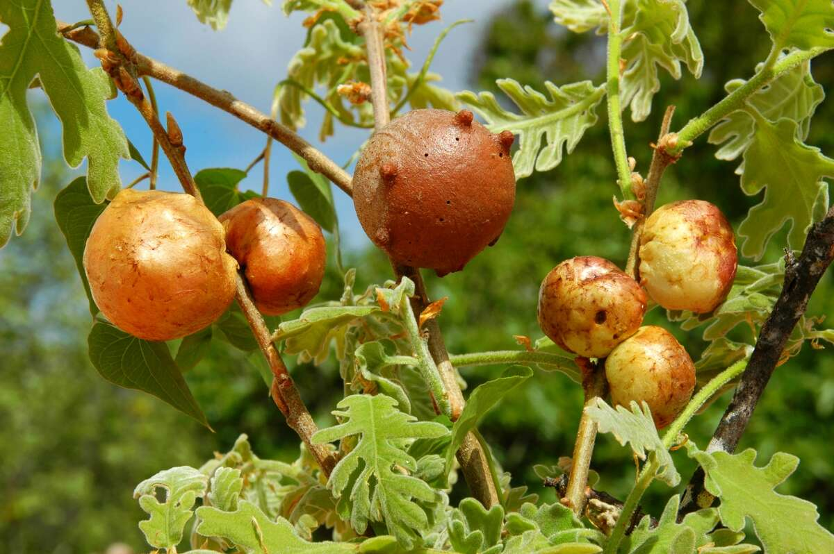 Galls on an Oaktree, Wasp Galls