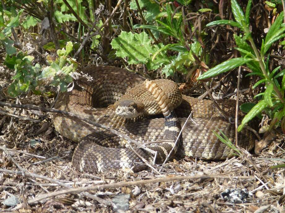 Rattlesnakes are not lying in wait to attack random people (or animals) who aren't bothering them. Photo: Tera Killip / Special To The Chronicle 2017