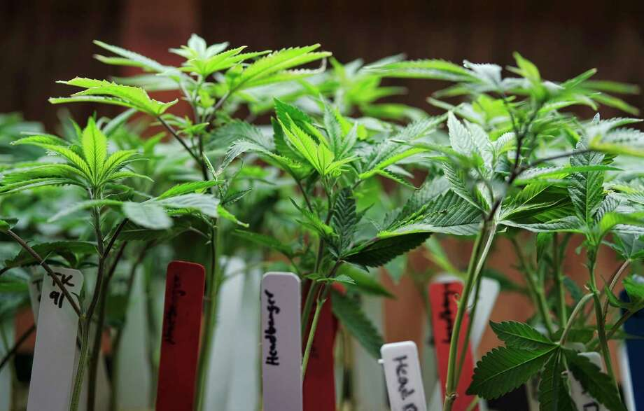 FILE - This April 15, 2017 file photo shows marijuana plants on display at a medical marijuana provider in downtown Los Angeles. A new study released on Wednesday, May 24, 2017 about using a marijuana ingredient to treat epilepsy joins a limited record of scientific knowledge about the harms and benefits of pot. Experts have called for a national effort to learn more about pot and its chemical cousins. (AP Photo/Richard Vogel) ORG XMIT: NY729 Photo: Richard Vogel / Copyright 2017 The Associated Press. All rights reserved.