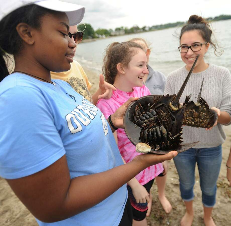 Vanessa Joseph, 15, and her biology classmates from Notre Dame High School in Fairfield capture horseshoe crabs for tagging as part of Sacred Heart University's horseshoe crab monitoring project at Southport Beach May 24. Photo: Brian A. Pounds / Hearst Connecticut Media / Connecticut Post