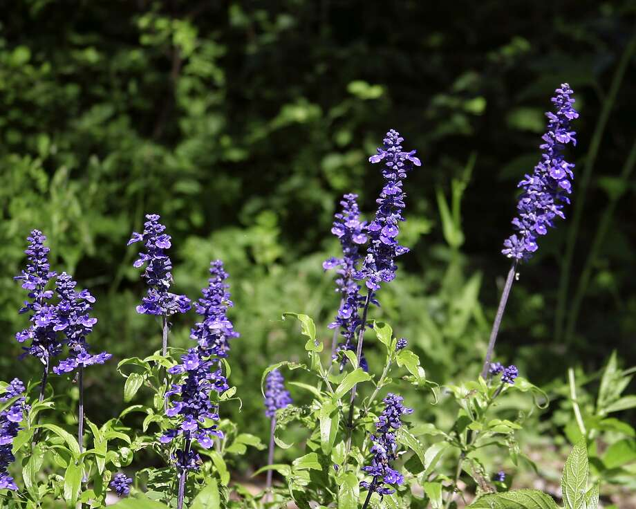 Mealy blue sage (Salvia farinacea) Photo: Courtesy Rich Olivieri / Rich Olivieri