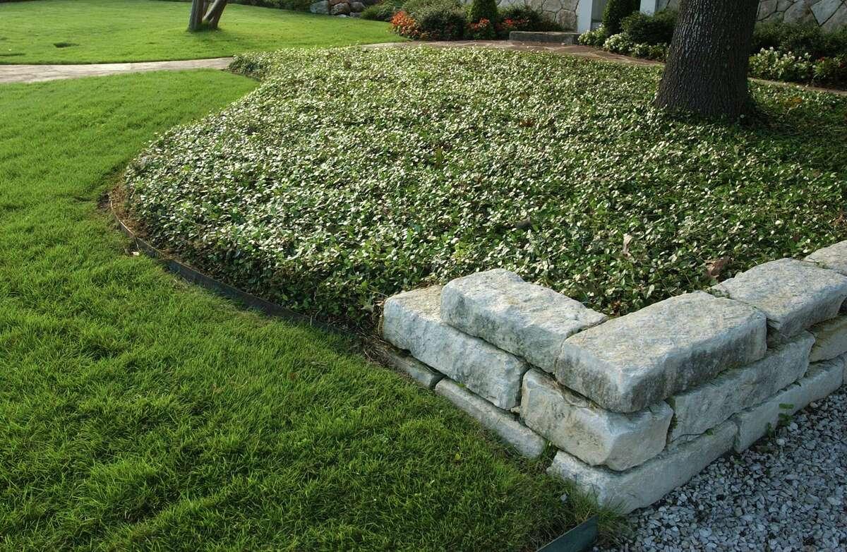 Asiatic jasmine is versatile but slow to establish.