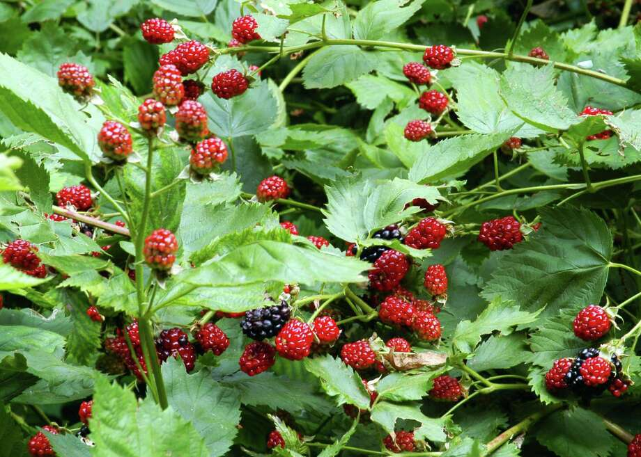 Any given blackberry cane only produces fruit one year. It will never bear fruit again. That means that you want to cut it to the ground and get it out of the way the moment you harvest the last fruit from it sometime about now. Photo: Courtesy Photo