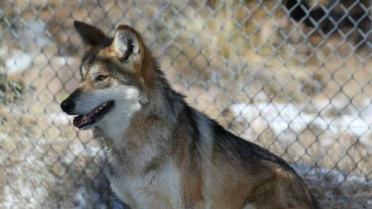 A female Mexican gray wolf looks to avoid being captured for its annual vaccinations at the Sevilleta National Wildlife Refuge in central New Mexico. (AP Photo, 2011/Susan Montoya Bryan)