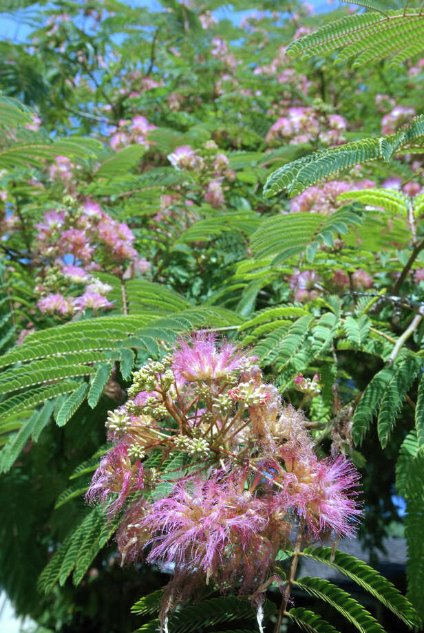 The pink, puffy blooms of the mimosa tree make it easily recognizable. Photo: STEVE SHELTON, PHOTOGRAPHER / STEVE SHELTON