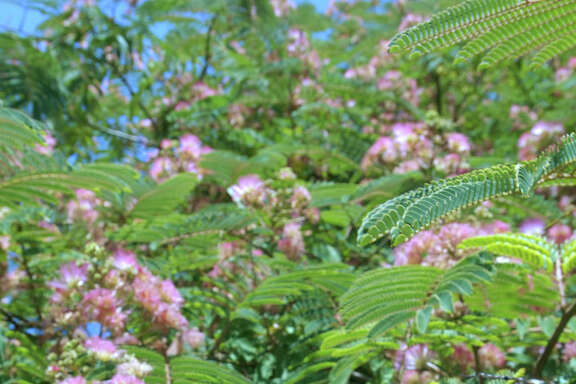 The pink, puffy blooms of the mimosa tree make it easily recognizable.