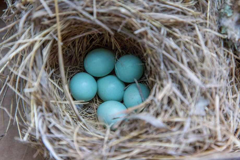 Eastern bluebirds lay distinctive blue eggs. Photo: Kathy Adams Clark / Kathy Adams Clark/KAC Productions