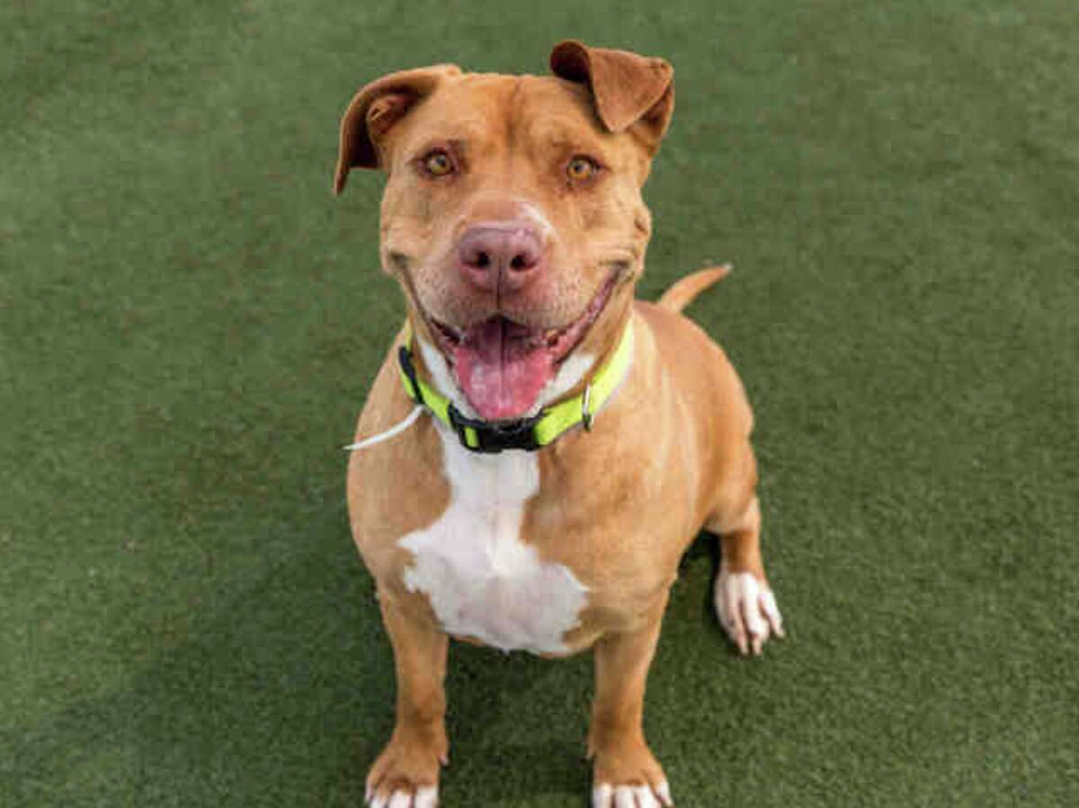My name is Betty and I am described as a spayed female, tan Pit Bull Terrier mix. You will find me in Kennel # B03. The shelter thinks I am about 5 years old. I have been at the shelter since Feb 28, 2017.