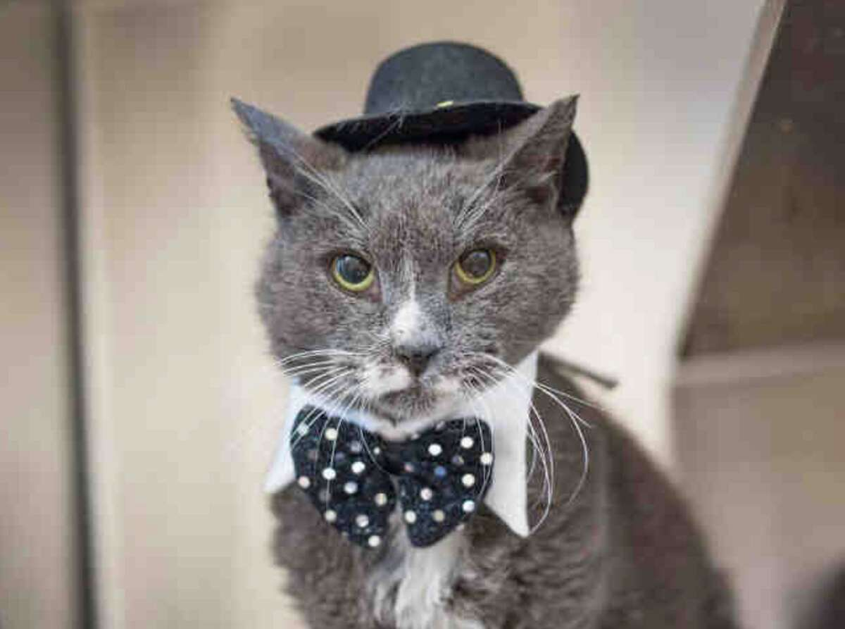 My name is Walter and I am described as a neutered male, gray and white Domestic Shorthair. You will find me in Kennel # CAT01. The shelter thinks I am about 12 years old. I have been at the shelter since Mar 09, 2017.
