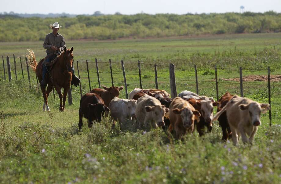 A measure increasing the penalty for killing live- stock without consent was backed by the Texas and Southwestern Cattle Raisers Association, which has its own force of law enforce- ment officers on call 24/7. Photo: San Antonio Express-News / File Photo / ©2012 San Antonio Express-News