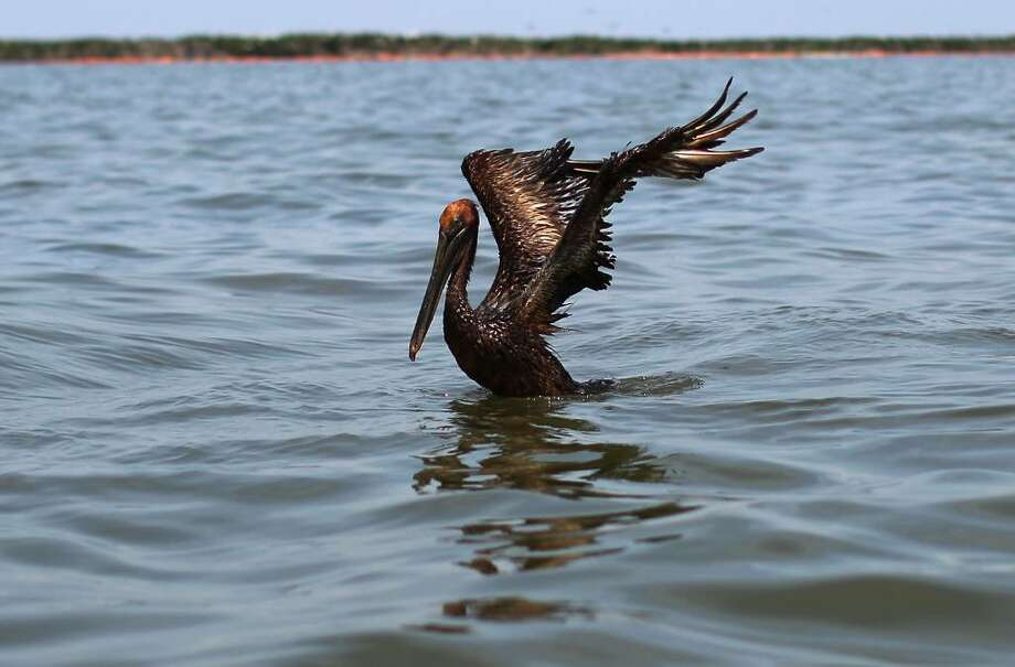 GRAND ISLE, LA - JUNE 06:  An oiled brown pelican tries to take flight from Barataria Bay June 6, 2010 near Grand Isle, Louisiana. BP's latest attempt to stem the flow of oil from the well head is capturing a portion of the oil flowing out, but much of it continues to flow into the Gulf of Mexico.  (Photo by Win McNamee/Getty Images) Photo: Win McNamee, Getty Images / 2010 Getty Images