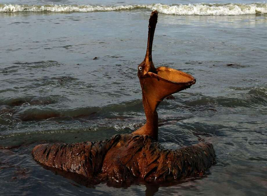 GRAND ISLE, LA - JUNE 04:  A brown pelican coated in heavy oil wallows in the surf June 4, 2010 on East Grand Terre Island, Louisiana. Oil from the Deepwater Horizon incident is coming ashore in large volumes across southern Louisiana coastal areas.  (Photo by Win McNamee/Getty Images) Photo: Win McNamee, Getty Images / 2010 Getty Images