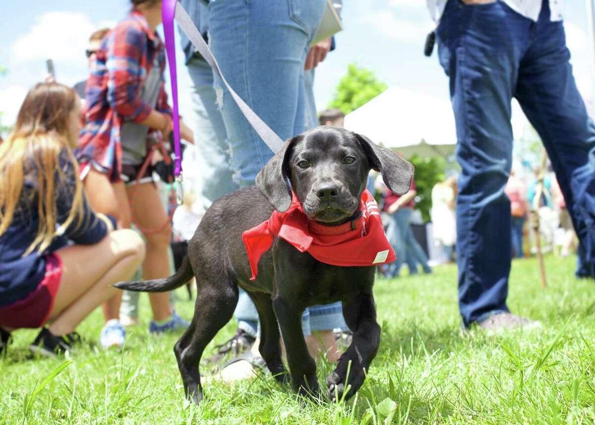 """A beauty and crazy happy Athena (a 10 week old Black Lab) from """"Because 4 Paws"""" out of Oxford gets adopted by Rachel Danziger from Middle Haddam during the 3rd Annual Catherine's Butterfly Party on Saturday, June 3, 2017 from 12-4 at the Fairfield Hills Campus in Newtown."""