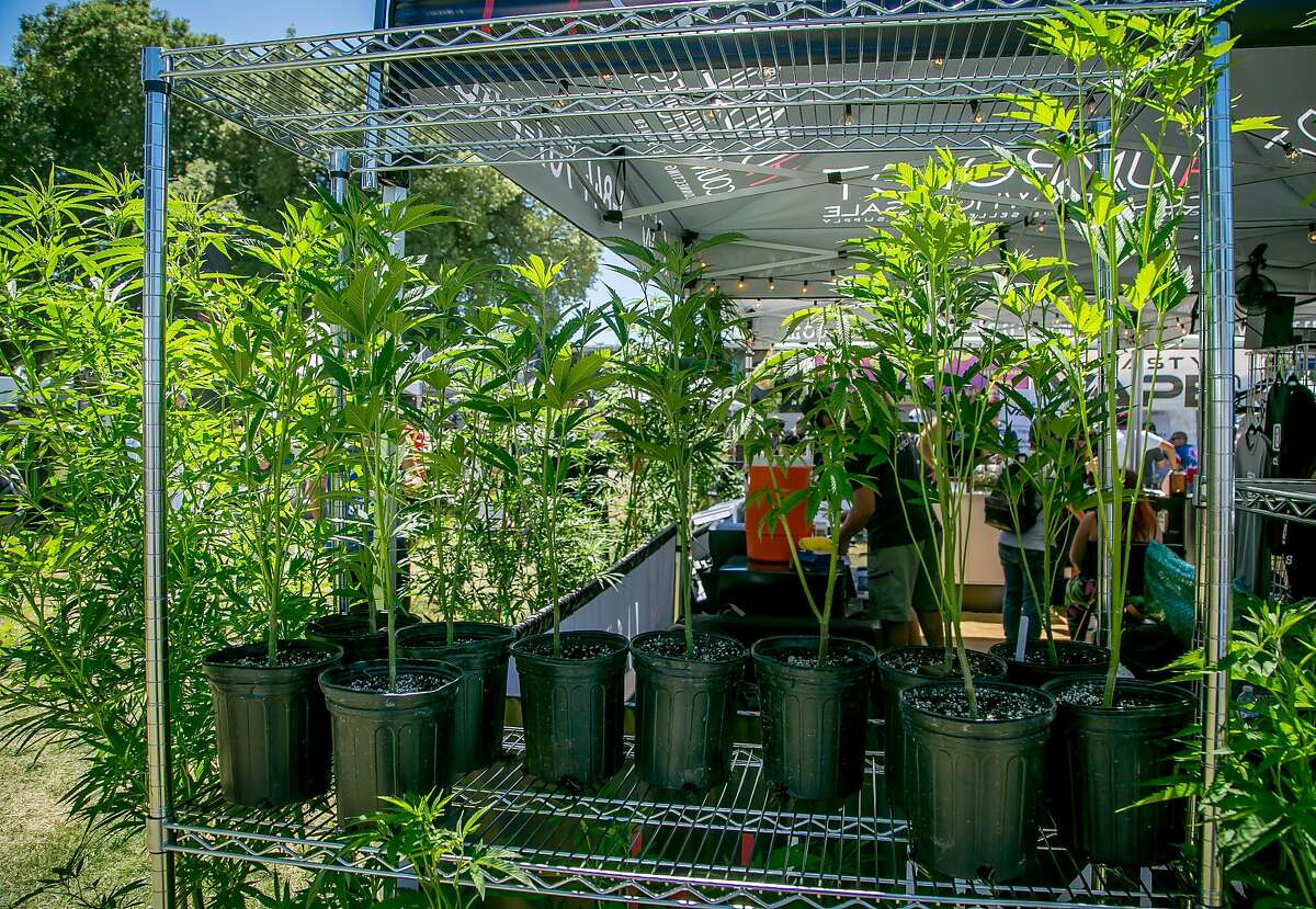 Some Cannabis plants at the Cannabis Cup event in the Sonoma County Fairgrounds in Santa Rosa, Calif., are seen on June 3rd, 2017.