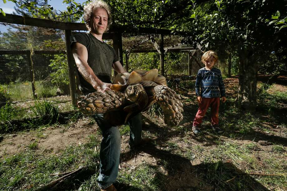 Starfinder Stanley lifts Sherman, his tortoise who moves like a tank, plowing through branches at his home in Sebastopol as son, Falcon, 5, watches. Photo: Paul Kuroda