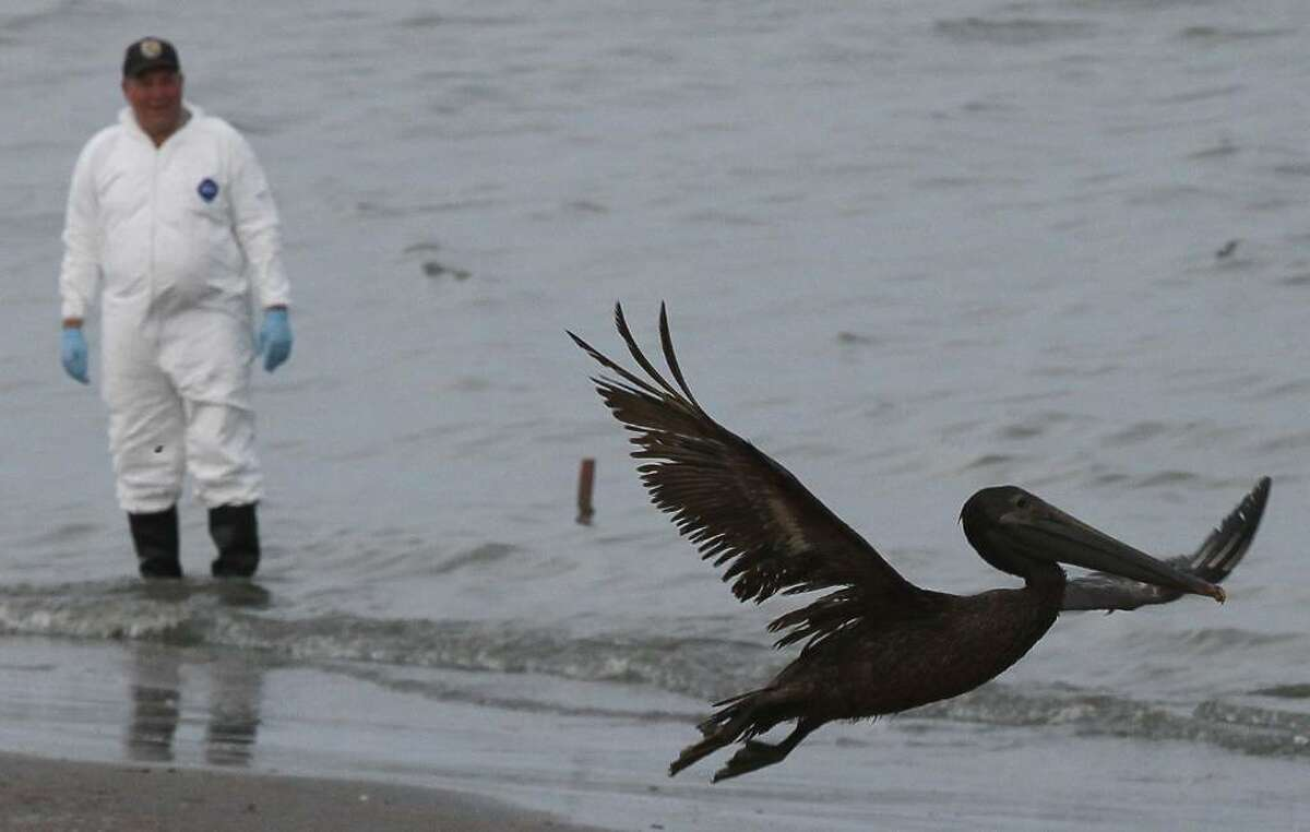 GRAND ISLE, LA - JUNE 05: A brown pelican stained with oil takes flight while a bird rescue team tries to capture it for cleaning June 5, 2010 in Grand Isle, Louisiana. Early reports indicate that BP's latest plan to stem the flow of oil from the site of the Deepwater Horizon incident may be working. (Photo by Win McNamee/Getty Images)