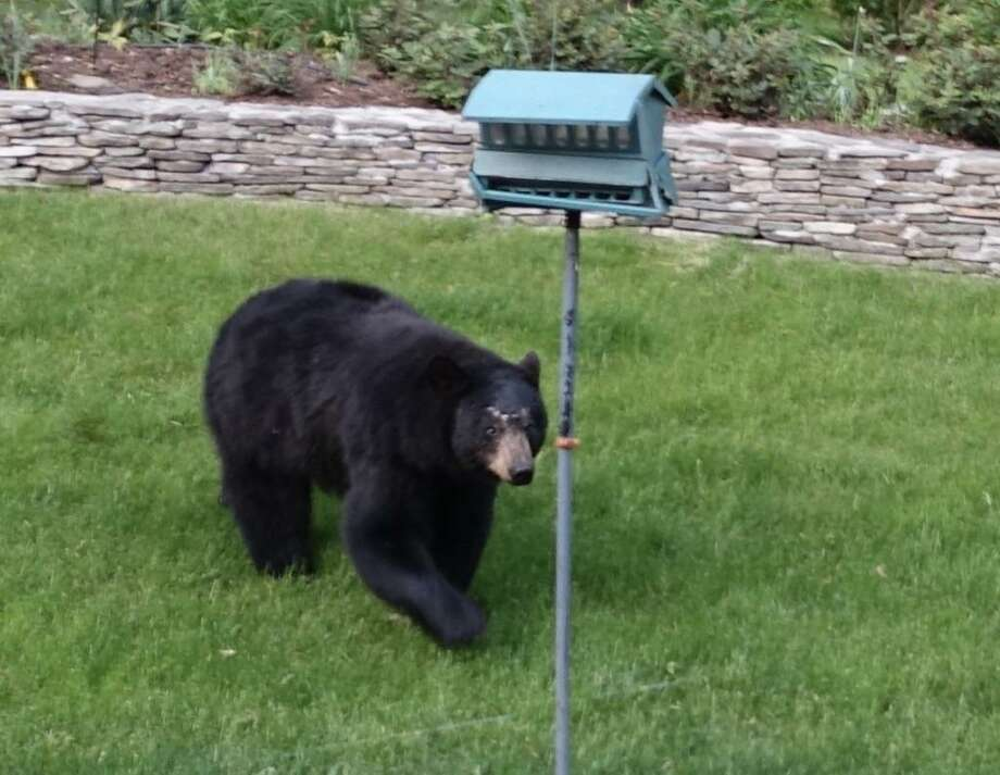 This bear was spotted in the backyard of a New Milford, Conn. house on Saturday, May 20. Photo: Contributed Photo / New Canaan News