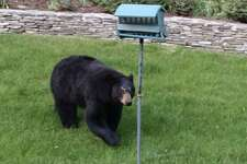 This bear was spotted in the backyard of a New Milford, Conn. house on Saturday, May 20.