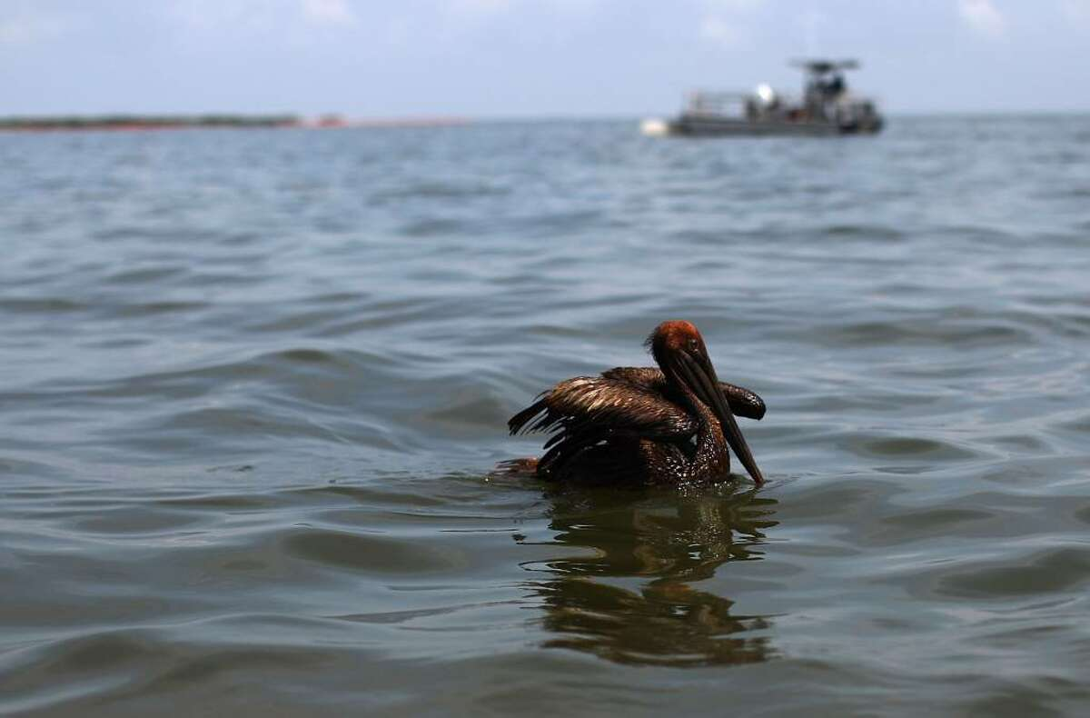 GRAND ISLE, LA - JUNE 06: An oiled brown pelican floats in Barataria Bay June 6, 2010 near Grand Isle, Louisiana. BP's latest attempt to stem the flow of oil from the well head is capturing a portion of the oil flowing out, but much of it continues to flow into the Gulf of Mexico. (Photo by Win McNamee/Getty Images)