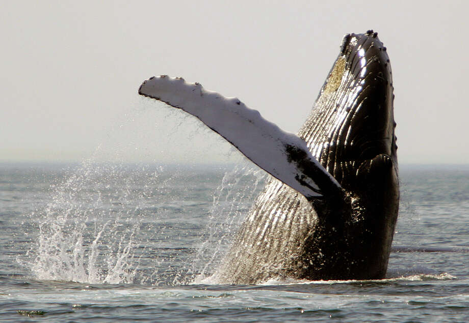 A humpback whale breaches about 25 miles east of Boston. Environmentalists say air guns for seismic surveys are so loud they can disturb or injure endangered whales and other marine mammals. Photo: Michael Dwyer, STF / AP2005