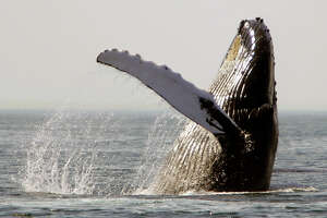A humpback whale breaches about 25 miles east of Boston. Environmentalists say air guns for seismic surveys are so loud they can disturb or injure endangered whales and other marine mammals.