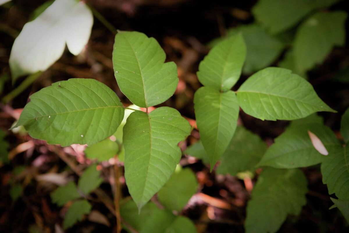 The poison ivy plant can cause unpleasant rashes, itching and other problems. (Andrew A. Nelles/Chicago Tribune/TNS)