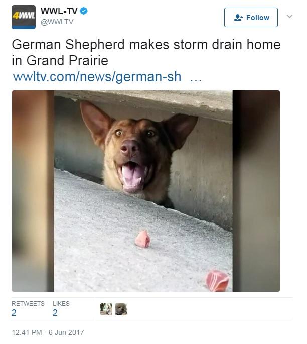 German Shepherd living in storm drain fascinates Texas town
