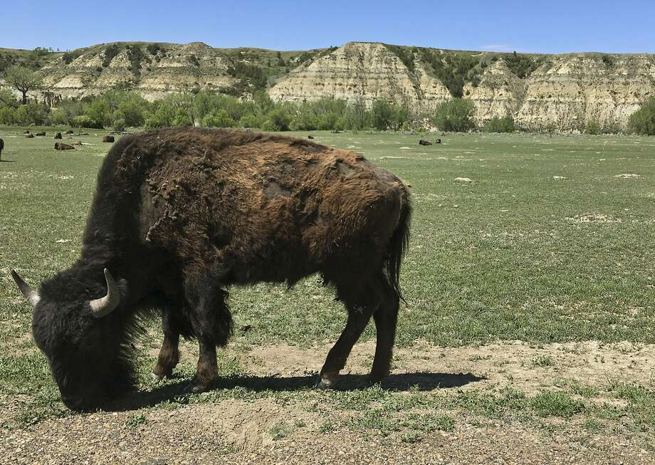 In South Dakota a woman was attacked for getting too close to a bison calf. Photo: Blake Nicholson, Associated Press