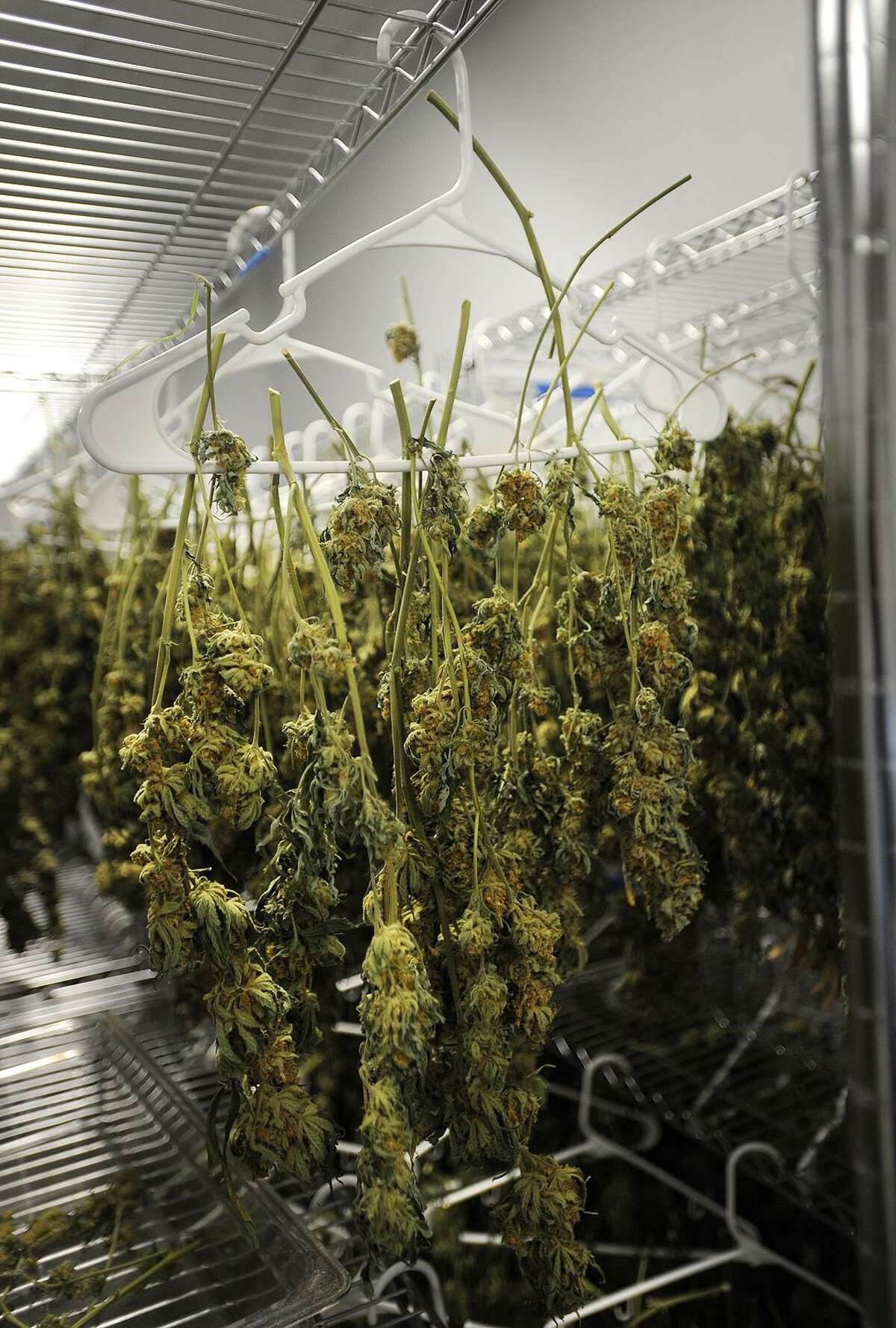 In this file photo, buds of medical marijuana hang from coat hangers in the curing room at Advanced Grow Labs in West Haven.