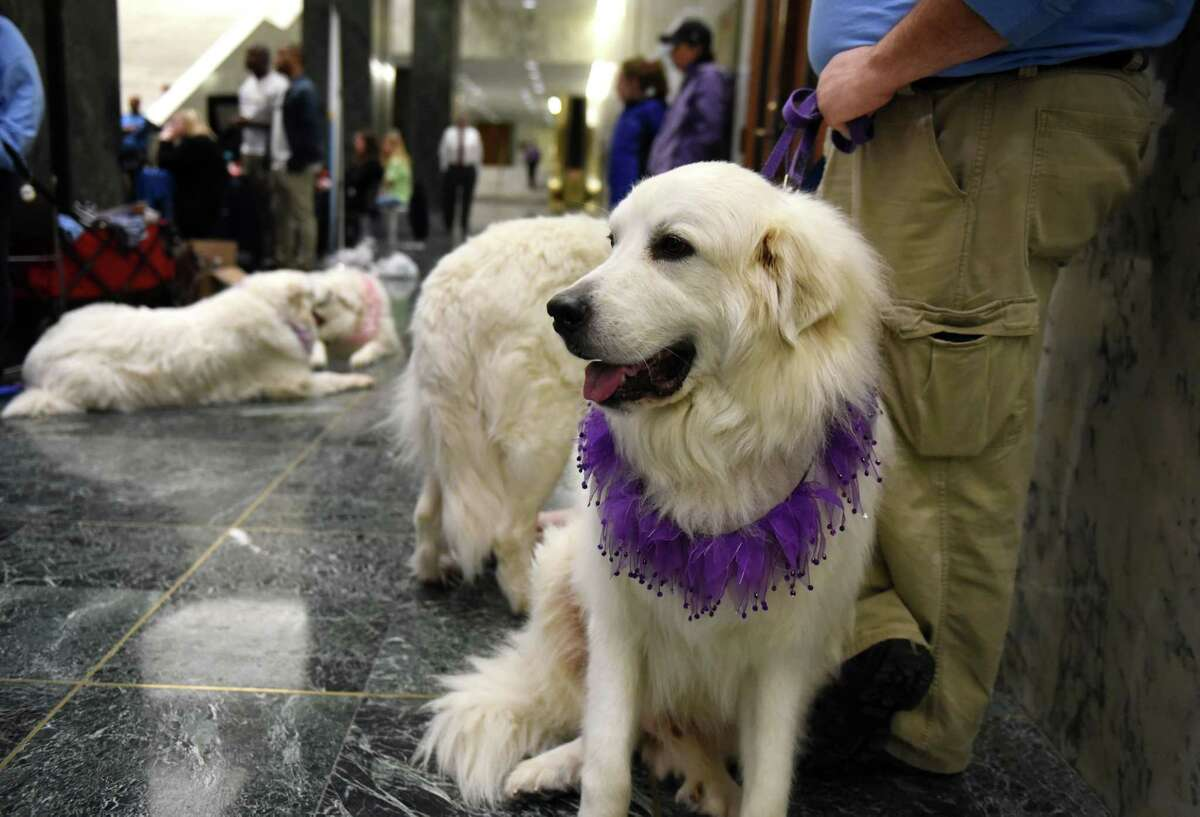 A group of Great Pyrenees dogs from Northeast Pyr Rescue were on hand for the annual NYS Animal Advocacy Day at the Legislative Office Building on Tuesday, June, 6, 2017, in Albany, N.Y. (Will Waldron/Times Union)