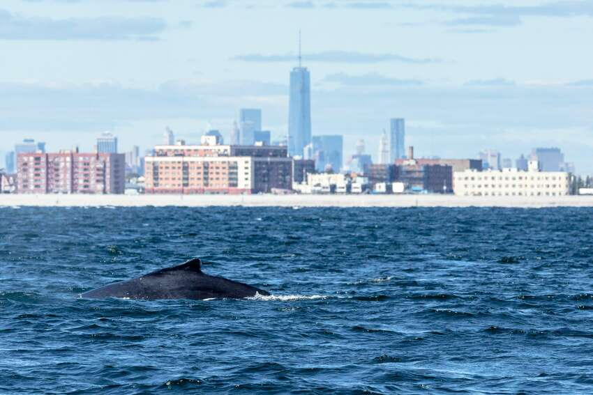 A humpback whale swims off Rockaway Peninsula with One World Trade Center in the background.