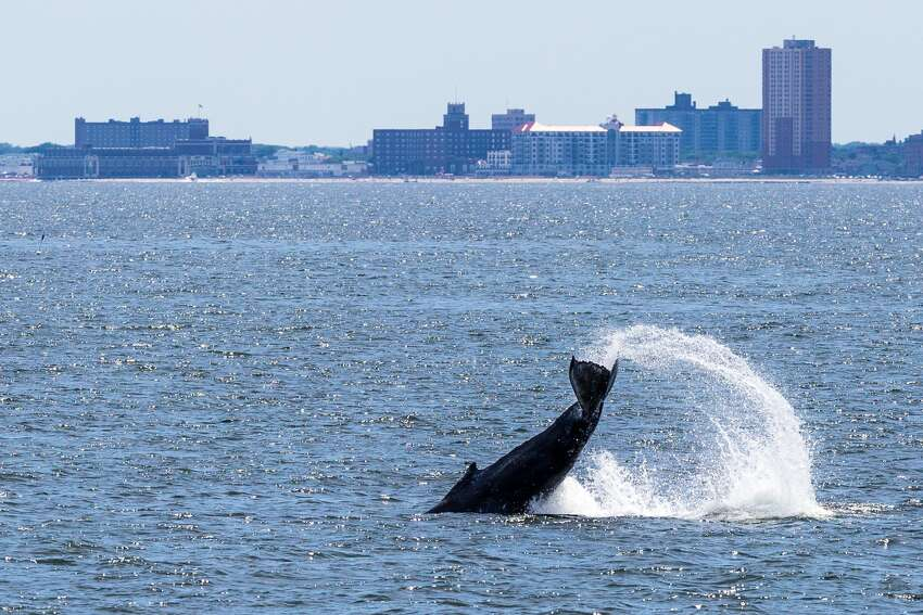 A humpback whale tail slaps off Navasink Beach in Asbury Park, New Jersey.