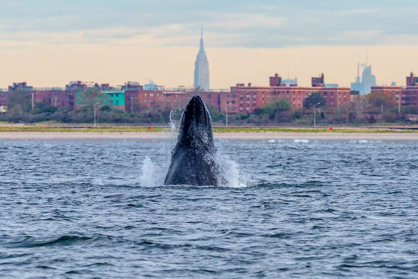 A humpback whale spyhops off Rockaway Peninsula with the Empire State Building in the background September 23, 2013 in the Rockaway Beach neighborhood of the Queens borough of New York City.