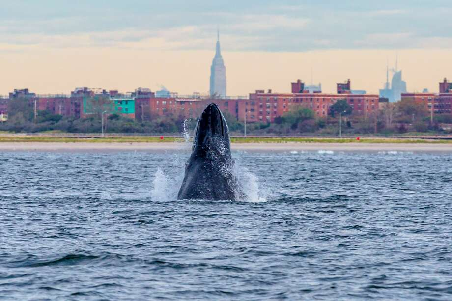 A humpback whale spyhops off Rockaway Peninsula with the Empire State Building in the background September 23, 2013 in the Rockaway Beach neighborhood of the Queens borough of New York City. Photo: Artie Raslich/Getty Images