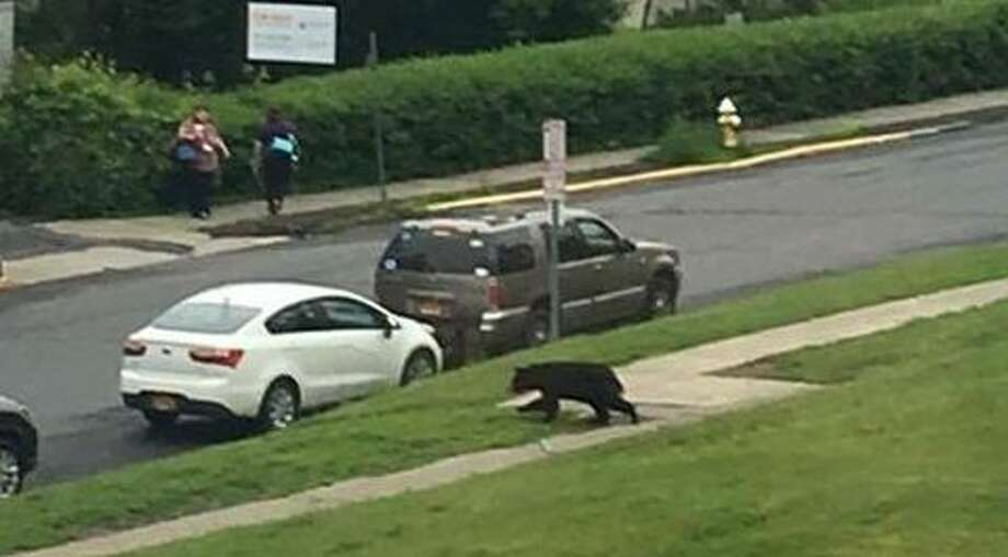 The Hudson Police Department released photos of bear sightings within the Columbia County city on Wednesday, June 7, 2017. This photo is from Green Street between 8 and 9 a.m. (Provided photo)Click through the slideshow to viewmorephotos of wild animals spotted in our area. Photo: Provided Photo