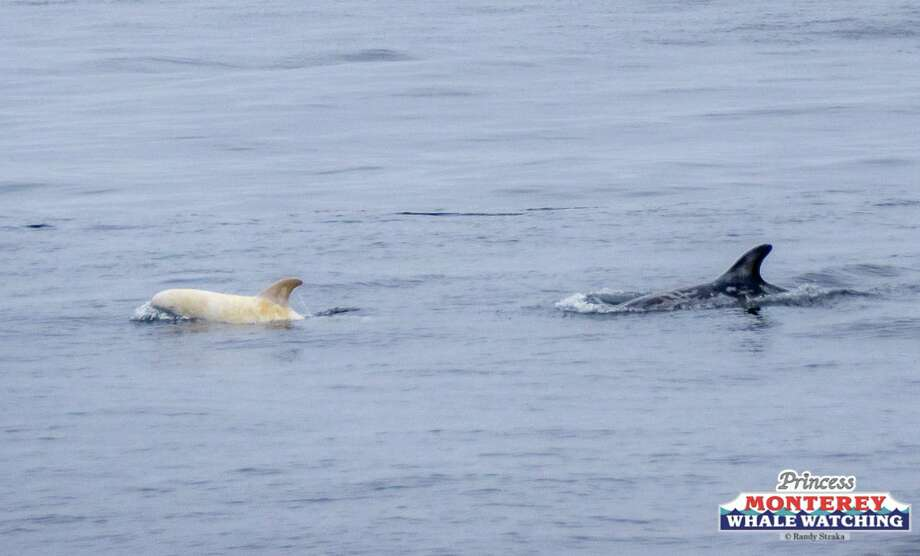 A white baby dolphin was seen swimming in the Monterey Bay with its pod Wednesday morning. Photo: Randy Straka/Princess Monterey Whale Watching