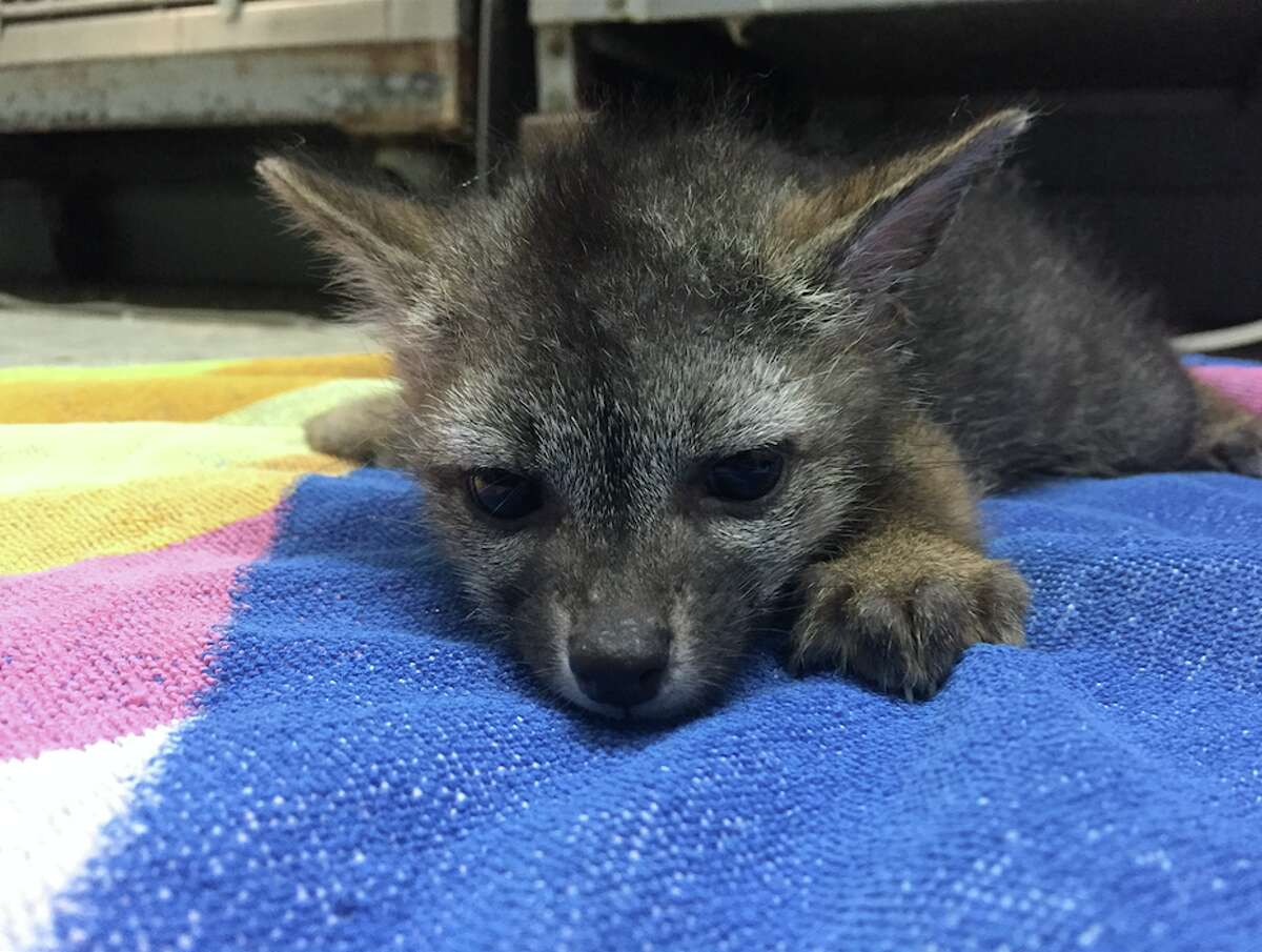 WildCare says they've received more than 25 reports of fox sightings in three weeks. They recently rescued this fox who had an ear infection ironically caused by a foxtail seed.