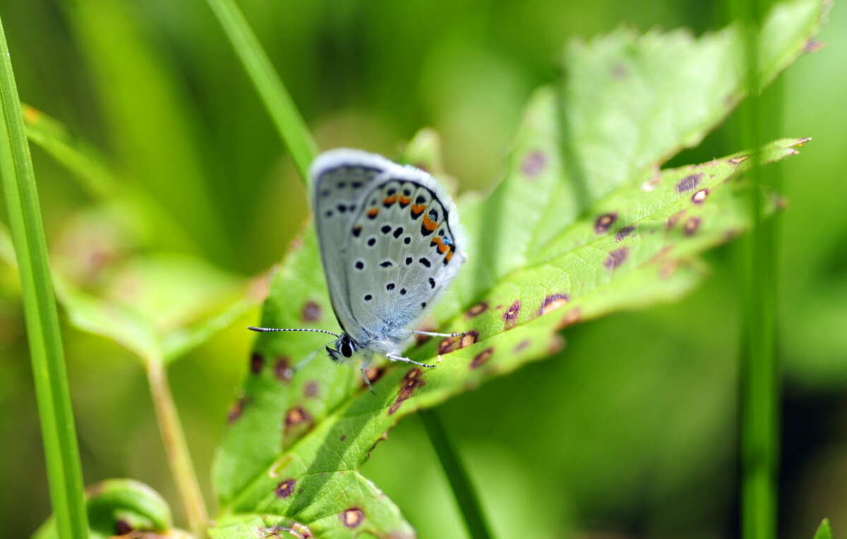 A Karner blue butterfly rests on a plant at the Albany Pine Bush Preserve. (Paul Buckowski / Times Union)