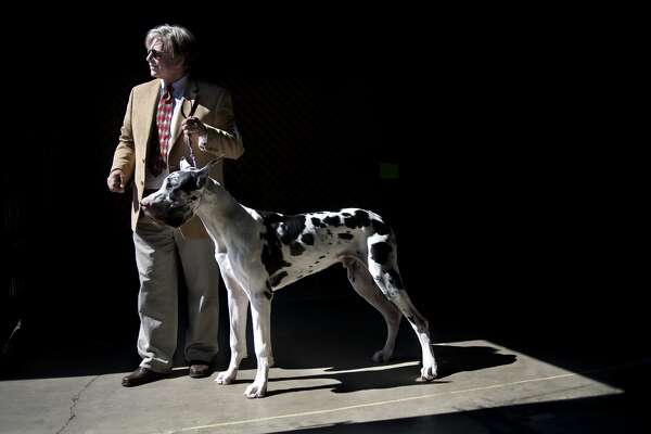 """Ray Cooke of Mount Clemens poses for a portrait with his harlequin Great Dane Franco at the Midland County Fairgrounds Thursday morning. Cooke has exclusive owned Great Danes since 1992. """"They make fabulous pets, they love people,"""" Cooke said. """"Having a Great Dane means never going to the bathroom alone; they just want to always be with you."""""""